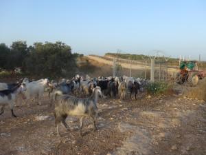 Eine Ziegenherde am Landwirtschafts-Checkpoint in Akkaba