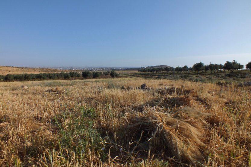 Qawawis: Getreideanbau und Olivenhaine sichern für viele Menschen ein Auskommen.