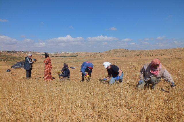 Um Leskwas, kurz vor der Grenze zu Israel: Schützende Präsenz und Erntehilfe lassen sich gut vereinbaren. Die EAPPI Teilnehmenden wurden angefragt, weil die palästinensischen Landwirte Konflikte mit den Siedlern eines nahegelegenen Außenpostens befürchteten.