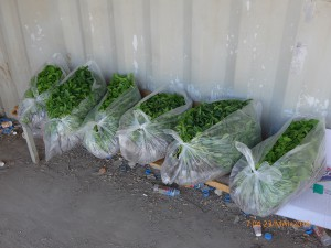 Diese Chili-Pflanzen durften nicht mit durch den Landwirtschafts-Checkpoint in Deir al-Ghussun