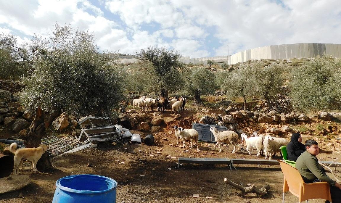 Zwischen den verbliebenen Schafen sitzt die Familie in den Trümmern ihrer Existenzgrundlage – im Hintergrund die Mauer; Foto © EAPPI