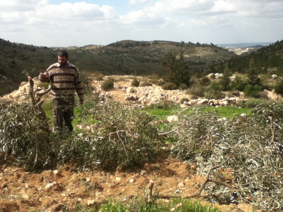 Von israelischen Siedlern gefällte Olivenbäume in dem palästinensischen Dorf Nahhalin