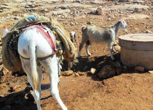 Esel und Ziegen trinken an der Wasserstelle; Foto © EAPPI