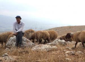 Mahyoub mit seinen Schafen; ©EAPPI