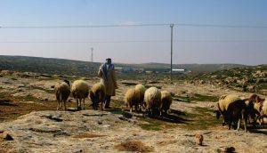 Jibreen mit seinen Schafen am Tag der Verhaftung