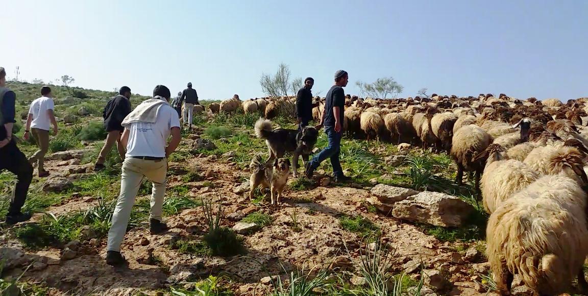 Eine Gruppe Siedler bedrängt Schäfer und Schafe im Jordantal; Foto © EAPPI
