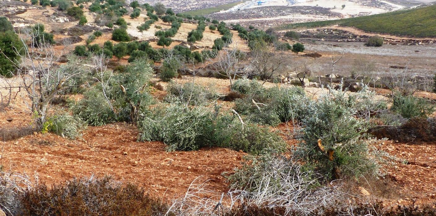 Zerstörte Olivenbäume in Turmus'ayya; © EAPPI
