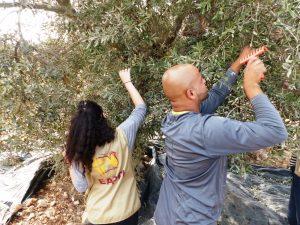 EA bei der Olivenernte in Turmus'ayya; © EAPPI