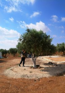 Wir dokumentieren auch die entstandenen Schäden an den Olivenbäumen. Foto © EAPPI