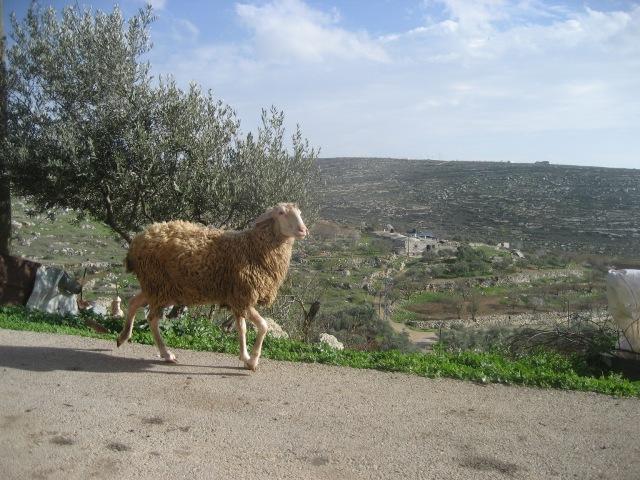 Schafhaltung spielt eine wichtige Rolle in Yanoun