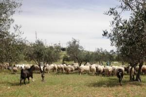 Schafe im Olivenhain, im Hintergrund der israelische Militärposten