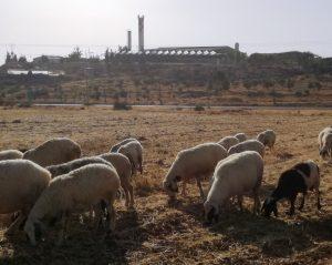 Ahmeds Schafe in den South Hebron Hills, im Hintergrund die Siedlung Susya ©EAPPI