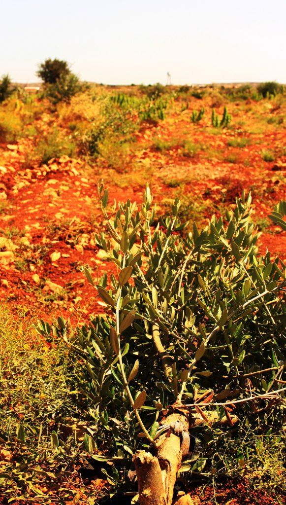 Abgebrochener Olivenbaum, im Hintergrund schwach zu erkennen die Siedlung Amichai © EAPPI